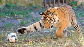 Tygr malajský na hrátkách v pražské zoo (1. 11. 2018)