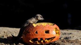 V zoo ve Dvoře Králové si Halloween užila i zvířata
