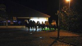 Na parkovišti u Lidlu postávala skupina velbloudů, utekli z cirkusu