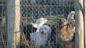 Na rozsáhlém pozemku majitele množírny pobíhaly desítky zanedbaných psů, někteří byli viditelně nemocní, kolem se šířil zápach.