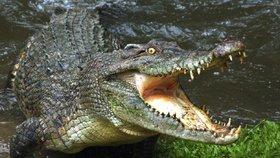 Slanovodní krokodýl v Austrálii.