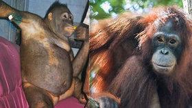 Orangutanku sexuálně zneužívali. Z majitelky má trauma.