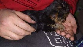 Pejsek strávil u nových majitelů jediný den. Pak skončil u veterinářky, podle které bylo štěně vážně nemocné.