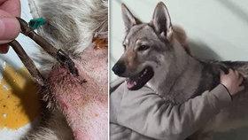 Pes měl pod kůží na krku umístěnou karabinu.