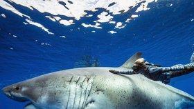 Žralok bílý je nebezpečný predátor.