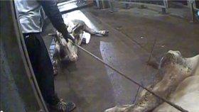 Podle polské televize vozí na jatka v Polsku na porážku nemocné krávy. Jejich maso se pak dostává běžně do obchodů. V Česku proto zpřísnily úřady kontroly