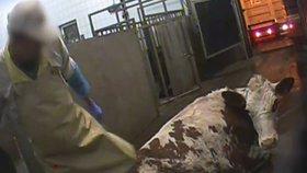 Záběr z polských jatek, kde poráželi nemocné krávy