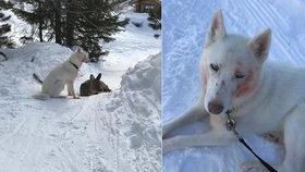 Husky na sjezdovce v Rakousku ulovil laň a před zraky lyžařů ji rozsápal.