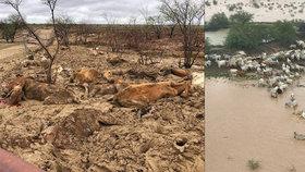Australští farmáři při záplavách přišli o dobytek za miliardy korun.