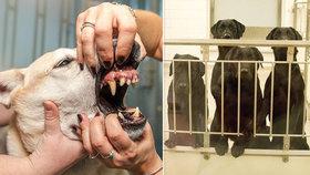 Skupina šesti labradorů přišla kvůli testu zubních protéz o třetinu svých zubů.