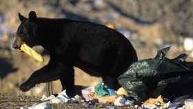 Medvědům velká dostupnost lidských odpadků škodí