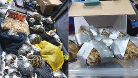 Filipínská policie na letišti našla zavazadla s 1500 želvami, které byly omotané lepicí páskou.