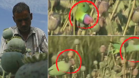 Gangy závislých papoušků ničí indickým farmářům úrody makovic, kradou z nich šťávu opia