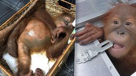 Na letišti v Bali zatkli turistu se zdrogovaným orangutanem.