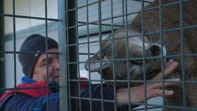 Loni jeho puma napadla holčičku (3), chovatel se teď svými šelmami chlubí v zahraničí