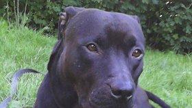Tyron je přitom nádherný pes typu bull