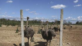 Na Kubě vznikají pštrosí farmy, mají pomoci řešit potravinovou krizi v zemi