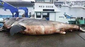 Dvoutunový žralok bílý se zardousil mořskou želvou.