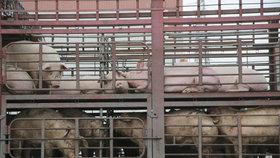 Čínské chovy prasat ve velkém kosí africký mor, země přišla o miliony zvířat. Ceny vepřového po celém světě rostou.