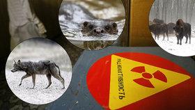 Do oblasti kolem Černobylu se po 33 letech od tragédie vrací život.
