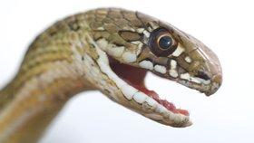 Světová zdravotnická organizace varuje před hadími uštknutími. Patří mezi největší výzvy současnosti, říká
