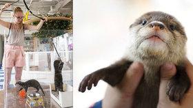 V Asii vznikají kavárny s vydrami. Pro zvířata jsou naprosto nevhodné a přispívají k vymírání tvorů, varují ochránci