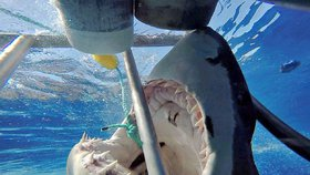 Fotograf velice zblízka zachytil, jak se velký žralok bílý snaží sežrat rybu