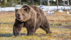 Sibiřské město zažívá invazi medvědů hnědých (ilustrační foto)