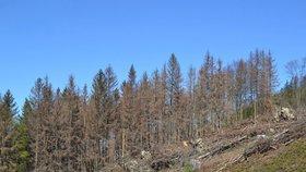Lesy jsou suché a bezbranné. Napadá je kůrovec a trpí na nedostatek vody