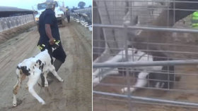 Týrání telat na americké farmě.