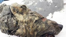 Vědci ukázali 40.000 let starou vlčí hlavu ze Sibiře.