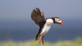 Klimatická změna na Aljašce je také podle vědců příčinou úhynu tisíců Papuchalků. Mořští ptáci prý vyhladověli, když jejich lovné ryby odpluly za chladnější vodou na sever. Oteplení má také vliv na úbytek ledu v Severním ledovém oceánu.