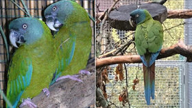Vzácného papouška, který patří k ohroženým druhům a jeho cena je 68 tisíc korun, hledá od minulé středy jeho majitel z pardubických Nemošic. Případ řeší i pardubická policie, protože má chovatel podezření, že mu někdo vzádného opeřence vypustil záměrně.