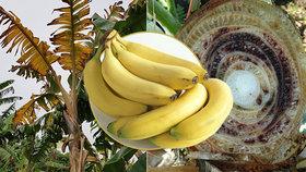 Na současné banány útočí celá řada nemocí. Pravděpodobně bude třeba vyšlechtit novou odrůdu