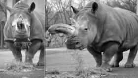 Ústecká zoo smutní: Zemřela Zamba, nejstarší nosorožčí samice v Česku.