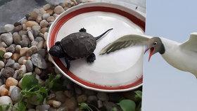 Na Moravě našli mládě vyhynulé želvy bahenní