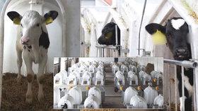Telata jsou podle ochránců po celé Evropě chována v nevyhovujících podmínkách.