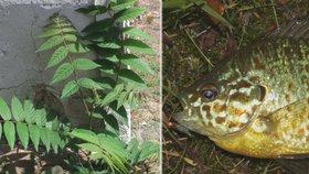 Slunečnice pestrá a pajasan žláznatý jsou jedněmi z invazivních organismů v Česku. EU je chce vymýtit.
