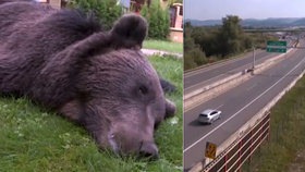 Medvěda porazilo a zabilo auto.