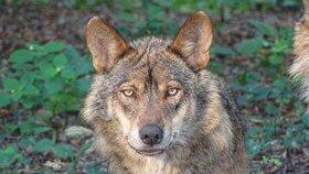Do Česka se vrací vlci, způsobuje to nadšení i problémy.