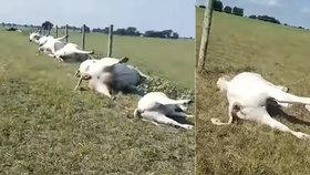 Šokující video: Farmář na pastvě našel dvě desítky mrtvých krav seřazených do řady!