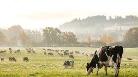 Kráva na maso a na mléko. Víte, jaký je mezi nimi rozdíl?