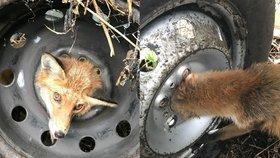 Lišce se zasekla hlava v disku pneumatiky. Ochránci zvířat ji bezpečně vysvobodili.