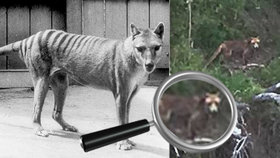 V Tasmánii zpozorovali vakovlka. Vědci si mysleli, že vyhynul před více než 80 lety.