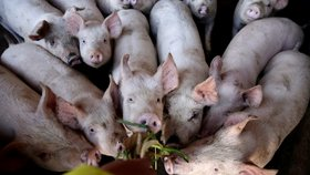 Africký mor prasat nejvíce ohrožuje prasata chovaná v Číně.