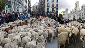 Ulice Madridu obsadily ovce a kozy