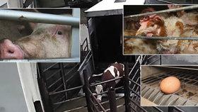 Viceprezident Komory veterinárních lékařů Karel Daniel promluvil o kamerách pro jatka i vajíčkách z klecových chovů.