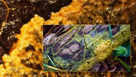 V lesích můžeme narazit na žlutý sliz, který má mimořádné schopnosti.