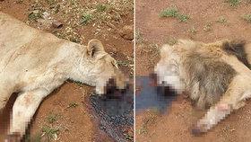 Pět lvů bylo otráveno v JAR. Poté jim pytláci uřezali tlamy a tlapy.