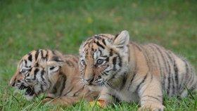 Napravo zvýdavý sameček Bohouš a jeho stále nespokojená tygří sestra Lena.